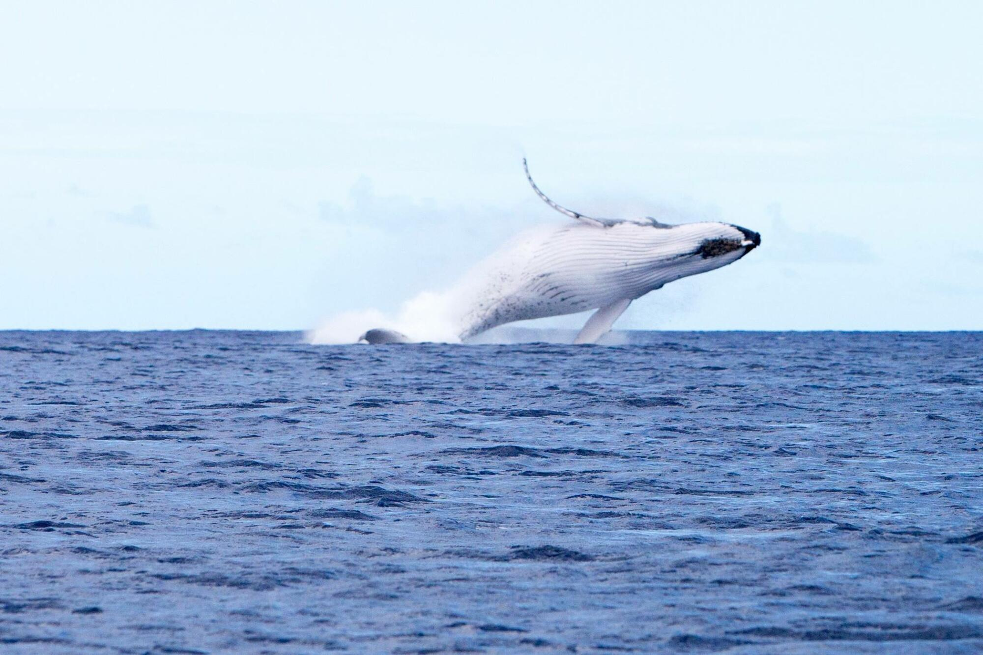 Whale Watching Tours in Rarotonga with Rongohiva WaterSports