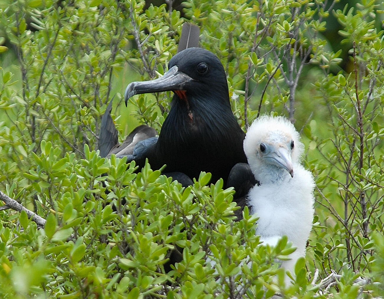 A Frigate bird with chicks  Suwarrow
